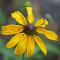 Brown-eyed Susan by Kenna Westerman