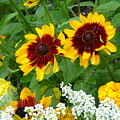 Brown Eyed Susans by Barbara Ebeling