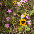 Brown Eyed Susans With Rose Gentian Flowers by Jeanette Fiveash