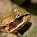 Brown Frog In The Forest - Western Oregon by Randall Ingalls