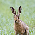 Brown Hare by Bob Kemp