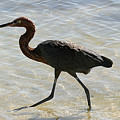 Brown Heron by Mary Haber