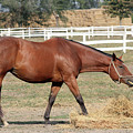 Brown Horse Eating Hay Ranch Scene by Goce Risteski