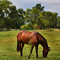 Brown Horse In Holland by Amy Lucid