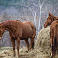 Brown Horses And Hay by Karen Saunders