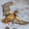 Brown Mallard Landing by Paul Freidlund