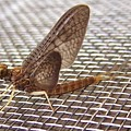 Brown Mayfly On Screening    Spring      Indiana by Rory Cubel