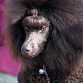 Brown Medium Poodle by Amir Paz