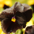 Brown Pansy by Elaine Manley