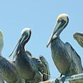 Brown Pelican 4 by Mike Goldstein