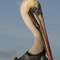 Brown Pelican by Alasdair Turner