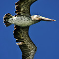 Brown Pelican by Albert Seger