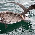 Brown Pelican And His Friend Brown Noddy by Robert Selin