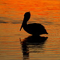 Brown Pelican At Sunset by Samuel Bland