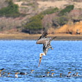 Brown Pelican Diving by Wingsdomain Art and Photography
