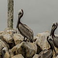 Brown Pelican by Donald Pash