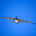 Brown Pelican Flying by John Harmon