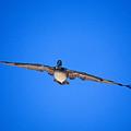 Brown Pelican Flying by John Harmon