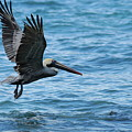 Brown Pelican In Flight Over Water by Sami Sarkis