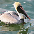 Brown Pelican In The Bay by Carol Groenen