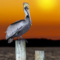 Brown Pelican by Janet Fikar