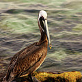 Brown Pelican by Kenneth Christenson