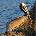Brown  Pelican by Nicola Fiscarelli