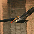 Brown Pelican On A Sunset Flyby by Max Allen