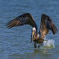 Brown Pelican Taking Off by Susan Candelario
