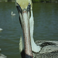 Brown Pelican Up Close by Mark Wallner