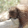Brown Porcupine On A Fallen Log by DejaVu Designs