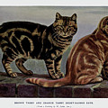 Brown Tabby And Orange Tabby by W Luker Junior