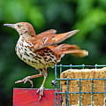 Brown Thrasher by Bill And Deb Hayes