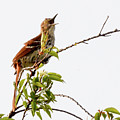 Brown Thrasher - I Am Here by Donald Nelson