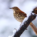 Brown Thrasher In Snow by Daniel Reed