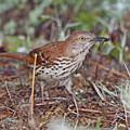 Brown Thrasher by Mike Dickie