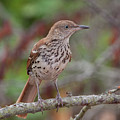 Brown Thrasher by Ronnie Maum