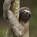 Brown-throated Three-toed Sloth by Ingo Arndt