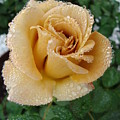 Brownish Rose by Tong Steinle