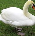Bruges Swan 1 by Randall Weidner