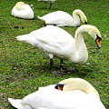 Bruges Swans 2 by Randall Weidner
