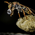 Bubble Blowing Wasp by Chris Cousins