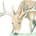 Buck Feeding by Daniel Shuford