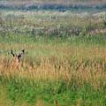 Buck In Field by Brook Burling