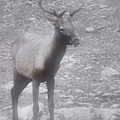 Buck In Fog On Hurricane Ridge - Olympic National Forest - Olympic National Park Wa by Christine Till