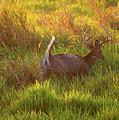 Buck On The Run  by Linda Kerkau