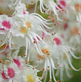 Ohio Buckeye Blooms by Karen Sturgill