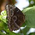 Buckeye Butterfly by David Lee Thompson