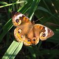 Buckeye Butterfly by Joshua Bales
