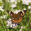 Buckeye Butterfly Posing by Sheila Brown